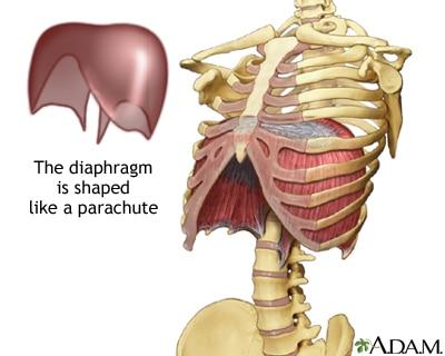 Anatomia del diaframma